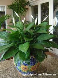 Peace Lily Plant Peace Lily Care Questions And Answers On Spathiphyllum