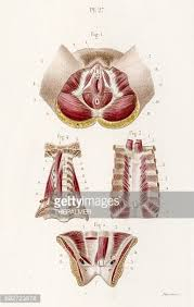 Perineum Anatomy Female Muscles Of Female Perineum 19 Century Medical Illustration Stock