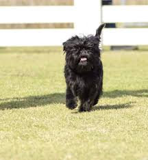 affenpinscher long hair affenpinscher dogs breed information omlet