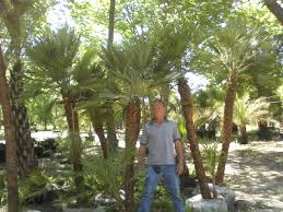 mediterranean fan palm tree palm tree types and palm tree pictures from palm trees of houston