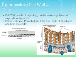 cell membranes u0026 walls types of cells prokaryotes archaebacteria