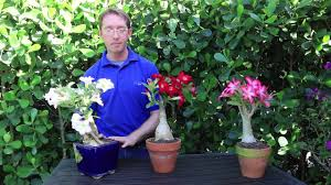 Tree Care Tips To Make by How To Grow Desert Rose Youtube