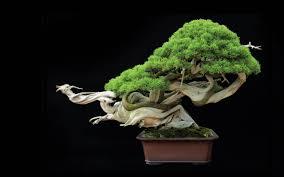 bonsai tree wallpaper hd nature wallpaper