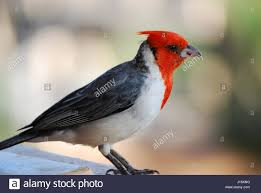 up close with a red crested cardinal bird in maui hawaii stock