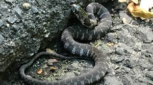 Yellow Flag With Snake Meet New York U0027s 17 Slithery Snakes 3 Are Poisonous To Humans