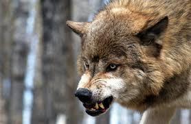 imagenes sorprendentes de lobos 5 sorprendentes cosas sobre los perros que han pasado en los últimos