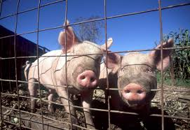 Backyard Pig How To Choose Pig Breeds For Your Farm