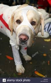 dog in fancy dress dressed stock photos u0026 dog in fancy dress