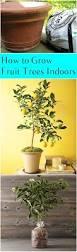 Indoor Garden Containers - how to grow fruit trees indoors container gardening to grow