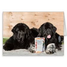 108 best got newfs images on dogs newfoundland