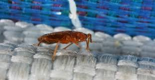 One Bed Bug Bed Bugs Do It Yourself Control Options Insects In The City