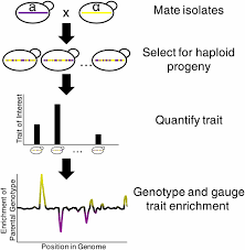 Qtl Mapping Mapping Yeast Transcriptional Networks Genetics