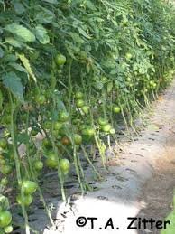 Diseases Of Tomato Plants - tomato key