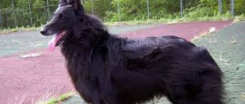 belgian sheepdog breeders in ohio belgian sheepdog rescue trust belgian sheepdog club of america