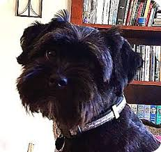 affenpinscher adults for sale gladi adoption pending adopted dog los angeles ca