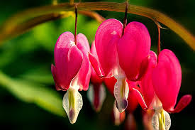 bleeding heart flower bleeding heart flower pink free photo on pixabay
