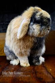 265 best rabbit breeding images on pinterest meat rabbits