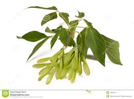 winged seed pods and leaves from a maple tree stock photo image