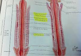 human anatomy testicular anatomy new 301 moved permanently new