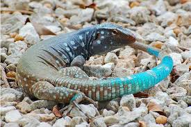 Big Lizard In My Backyard Whiptail Blue Lizards Are Beasts Living On Islands In The