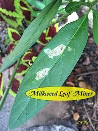 stop milkweed pests from ruining milkweed for monarchs