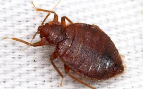 What Do A Bed Bug Look Like Do Bed Bugs Look Like Basic Information About Bedbugs