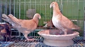 20 most beautiful fancy pigeon breeds with name