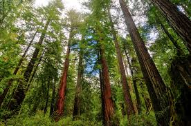 giant sequoias and redwoods the largest and tallest trees