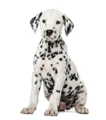 black and white pictures of photos 101 best black and white names for your two tone pup