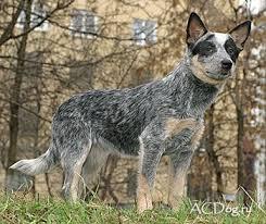 australian shepherd cattle dog 101 best australian cattle dog images on pinterest dog photos