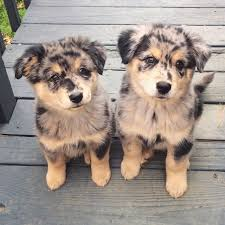 australian shepherd puppies 500 39 photos for anyone who u0027s just having a bad day candy shop