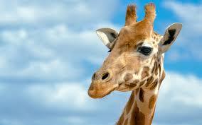 giraffe desktop backgrounds deskbg com