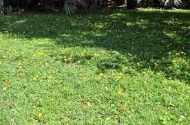 arachis gardening in the coastal southeast