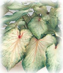 elephant ear caladium bulbs