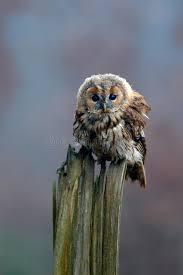 si e habitat allocco dell uccello di brown che si siede sul ceppo di albero nell
