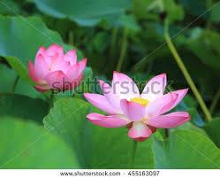 Lotus Flower Bloom - lotus flowers bloom on pond samrak stock photo 455438275