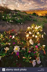 desert primrose and sand dunes anza borrego desert state park