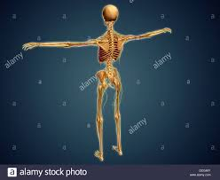 Nervous System Human Anatomy Back View Of Human Skeleton With Nervous System Arteries And