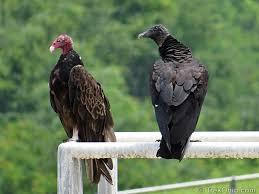 Seeking Vulture Turkey Vultures And Black Vultures Trekohio