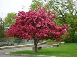 ornamental crabapple tree marifarthing stunning flowering