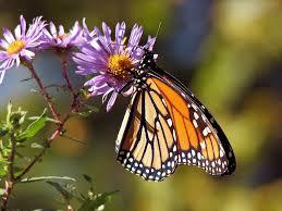 help monarch butterflies by saving milkweed pods mentor public