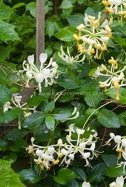 lonicera periclymenum u0027scentsation u0027 for fragrance garden plant