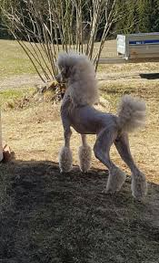 different toy poodle cuts interesting haircut poodles pinterest haircuts poodle and