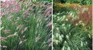ornamental grasses nursery management