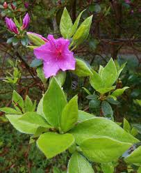 Azalea Topiary Indica Hybrid Azaleas Forest Garden