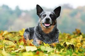 9 hearty facts about australian cattle dogs mental floss