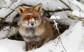 winter wildlife wallpaper winter wallpaper with a red fox near