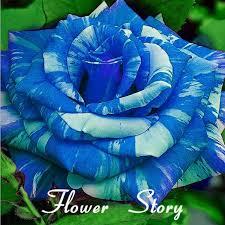 Teal Roses Aliexpress Com Buy Free Shipping 20 Blue Dragon Rose Seeds Rare