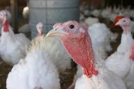 thanksgiving turkeys no view farm