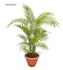 buy betel nut palm tree areca catechu